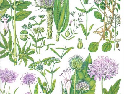 Keble martin botanical illustration